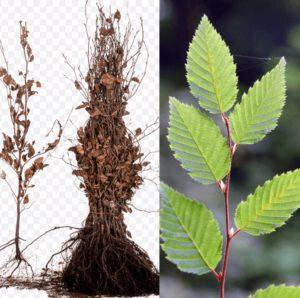 voorverkoop Carpinus betulus | Kwekerij Bakker