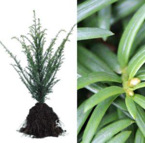 voorverkoop Taxus baccata | Kwekerij Bakker