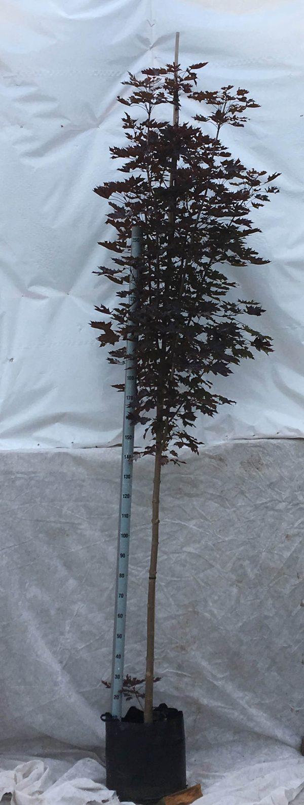 Acer platanoides Crimson Sentry | Kwekerij Bakker