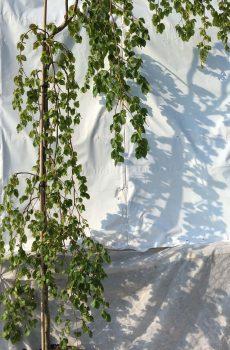 Fagus sylvatica Pendula | Kwekerij Bakker