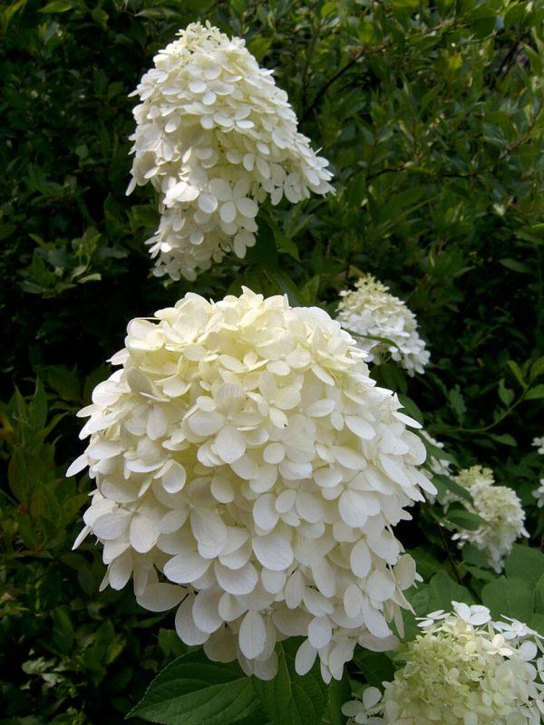 Hydrangea paniculata Limelight | Kwekerij Bakker