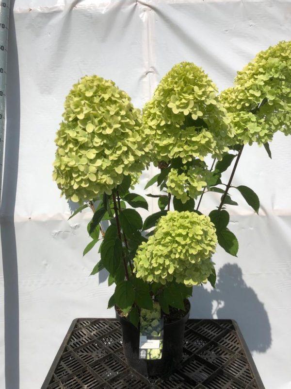 Hydrangea paniculata Limelight - Kwekerij Bakker
