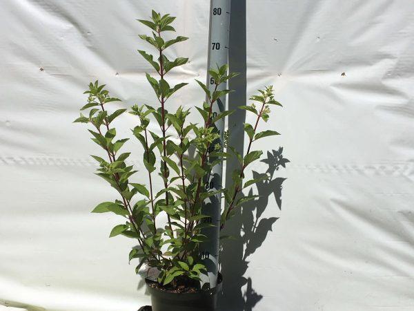 Hydrangea paniculata Pinky Winky | Kwekerij Bakker