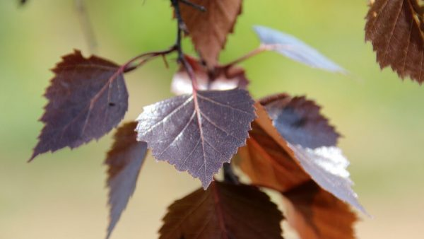 Betula pendula Purpurea blad | Kwekerij Bakker