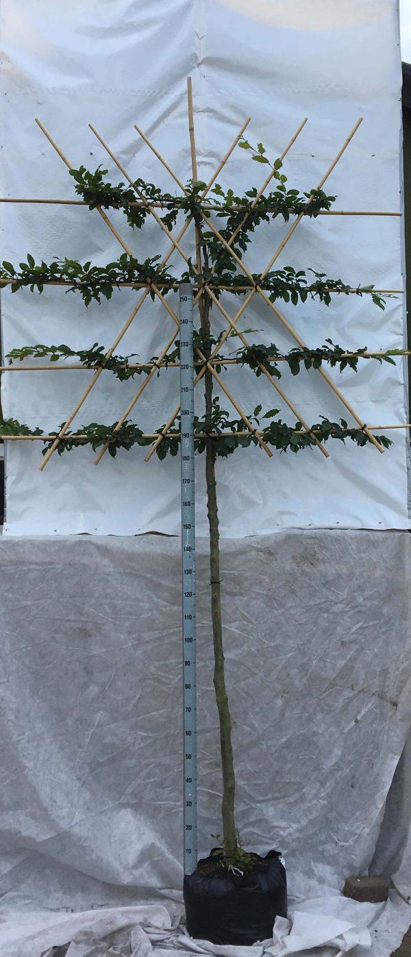 Carpinus betulus (leivorm) | Kwekerij Bakker