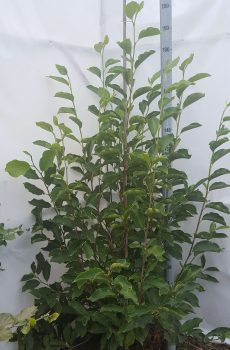 Magnolia soulangeana | Kwekerij Bakker