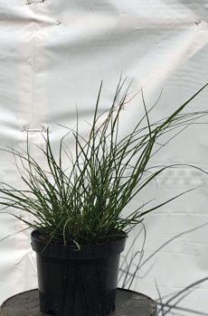 Pennisetum alopecuroides Hameln | Kwekerij Bakker