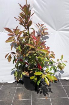 Photinia fraseri 'Red Robin' - Kwekerij Bakker