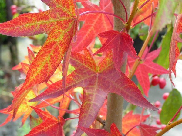 Luiquidambar blad herfst | Kwekerij Bakker