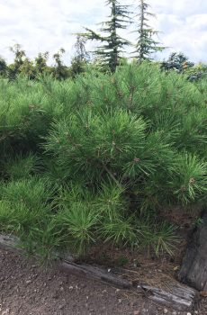 Pinus densiflora Umbraculifera | Kwekerij Bakker