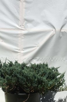Juniperus horizontalis Blue Chip | Kwekerij Bakker