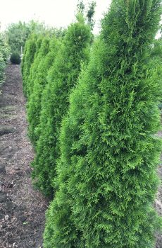 Thuja occidentalis Smaragd | Kwekerij Bakker
