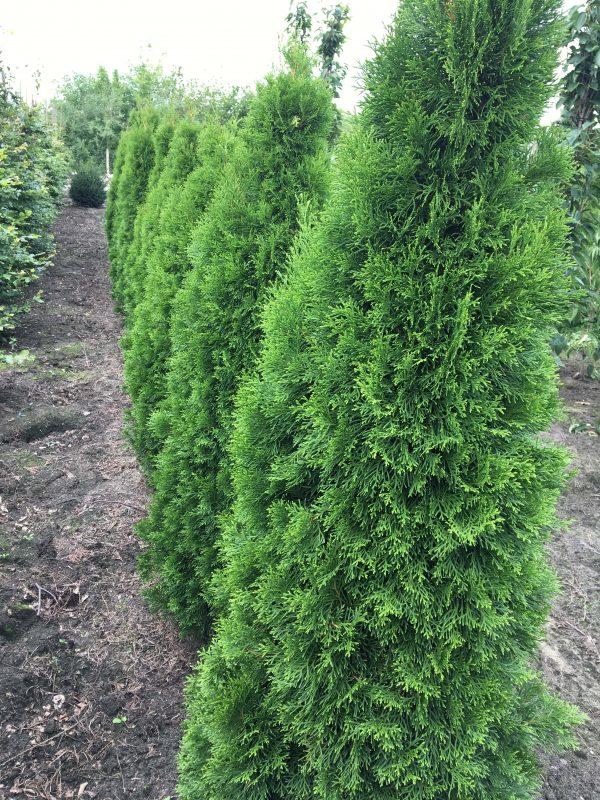 Thuja occidentalis Smaragd | Kwekerij Bakker