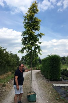 Metasequoia glyptostroboides Goldrush | Kwekerij Bakker