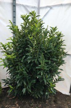 Prunus laurocerasus Reynvaanii | Kwekerij Bakker