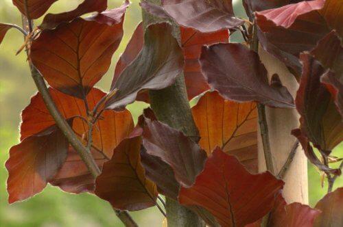 Fagus sylvatica Dawyck Purple - Blad | Kwekerij Bakker