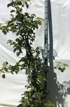 Hydrangea anomala Petiolaris | Kwekerij Bakker