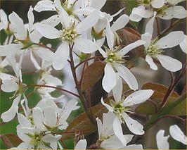 Amelanchier lamarckii - Bloemen | Kwekerij Bakker