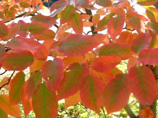 Amelanchier lamarckii - Herfstkleur | Kwekerij Bakker