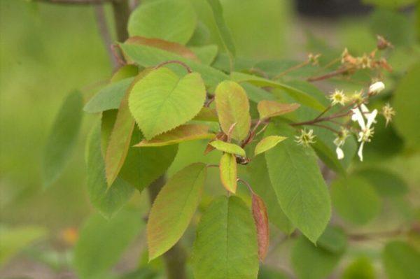 Amelanchier lamarckii - Voorjaarskleur | Kwekerij Bakker