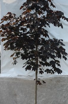 Acer platanoides Royal Red | Kwekerij Bakker