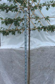 Acer saccharum | Kwekerij Bakker