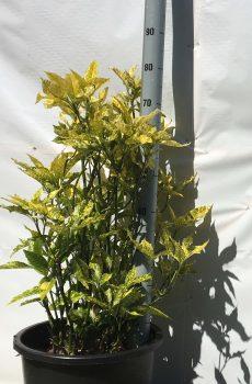 Aucuba japonica Variegata | Kwekerij Bakker