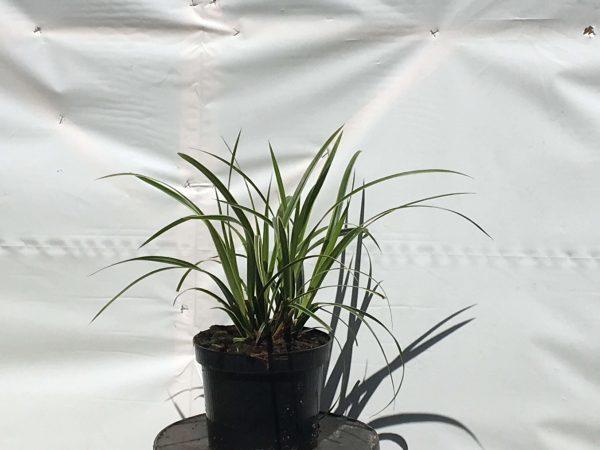 Carex morrowii Ice Dance   Kwekerij Bakker