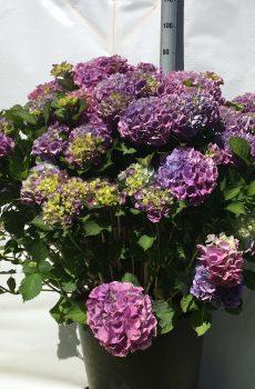 Hydrangea macrophylla Bodensee | Kwekerij Bakker