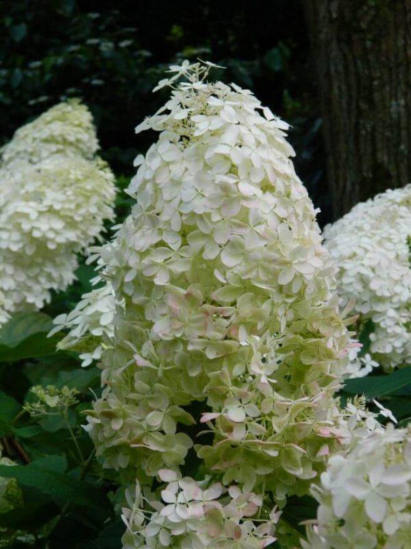 Hydrangea paniculata Kyushu | Kwekerij Bakker
