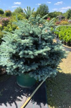 Picea pungens Glauca Globosa - Kwekerij Bakker