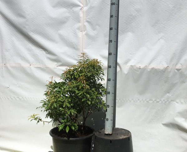 Pieris japonica Valley Rose | Kwekerij Bakker