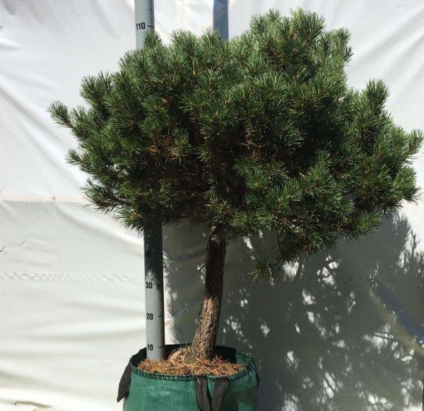 Pinus mugo Carsten's Wintergold   Kwekerij Bakker