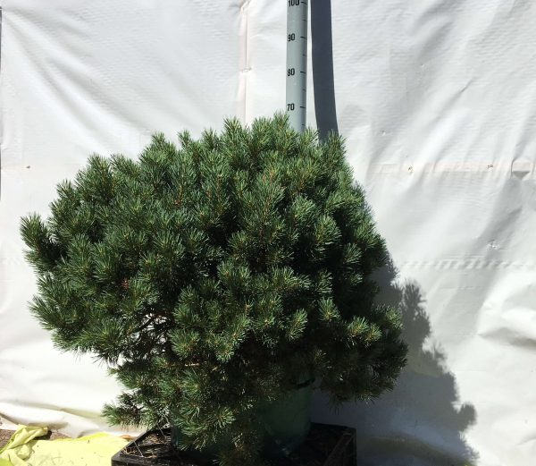 Pinus sylvestris Watereri | Kwekerij Bakker