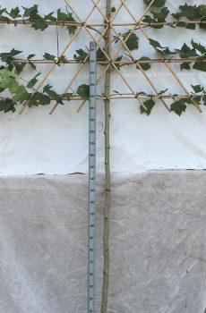 Platanus hispanica (lei) | Kwekerij Bakker
