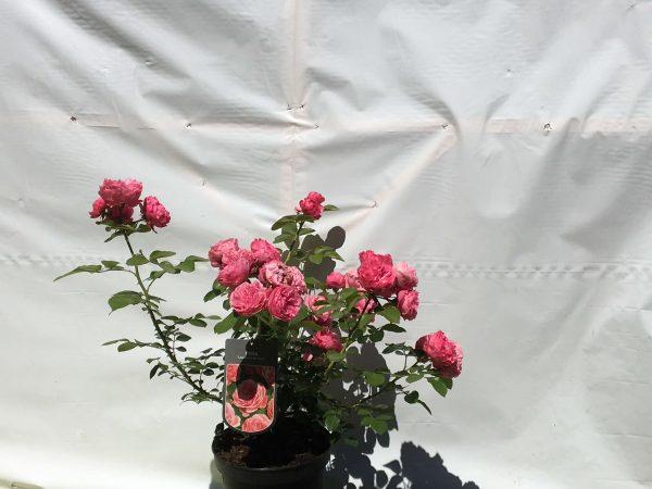 Rosa Leonardo da Vinci | Kwekerij Bakker