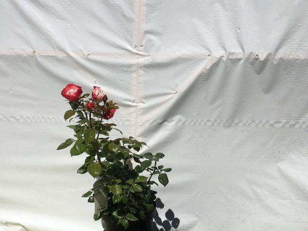 Rosa Nostalgie | Kwekerij Bakker