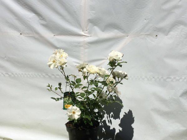 Rosa Schneewittchen | Kwekerij Bakker