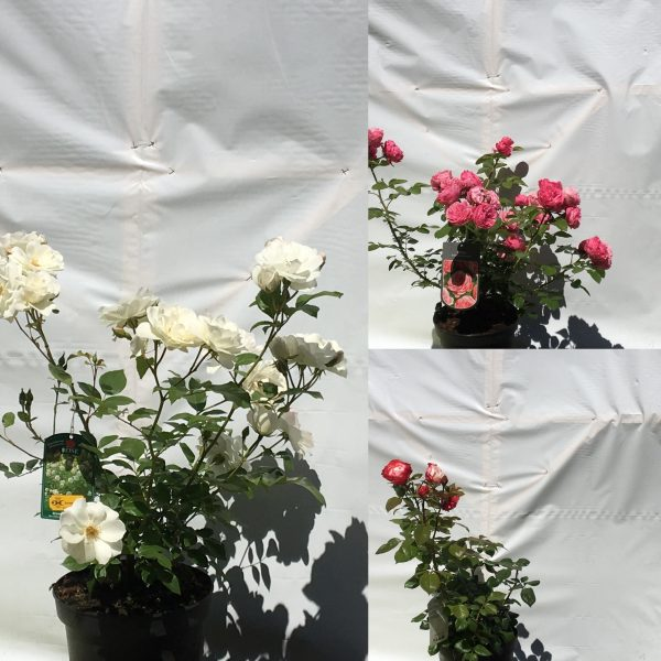 Rosa in soorten | Kwekerij Bakker