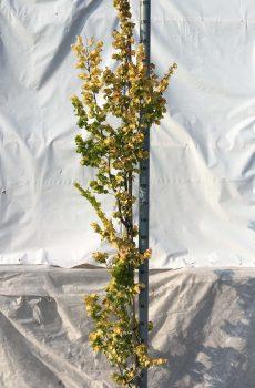 Ulmus hollandica Wredei | Kwekerij Bakker