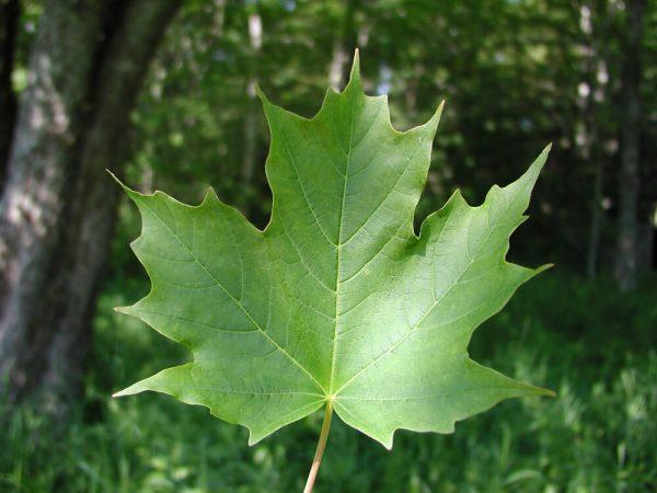 Acer saccharum blad | Kwekerij Bakker