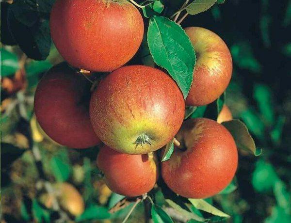 Malus domestica Cox's Orange Pippin' | Kwekerij Bakker