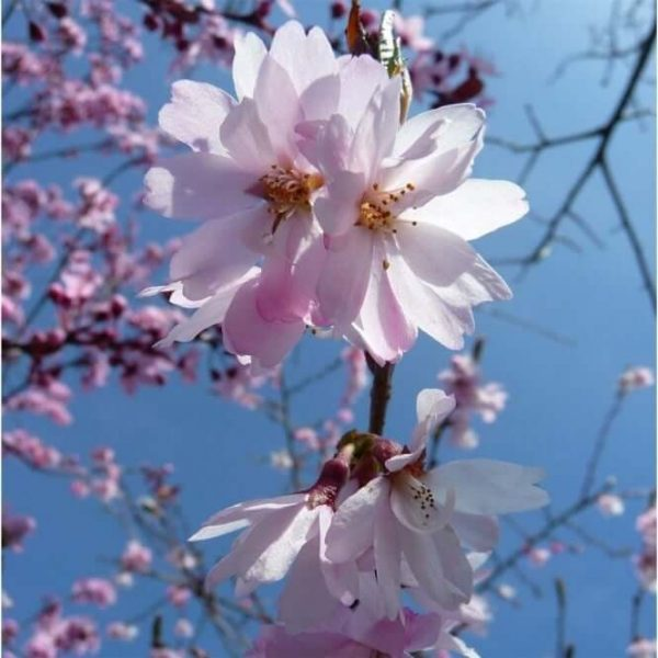 Prunus subhirtella Autumnalis Rosea - Bloemen   Kwekerij Bakker