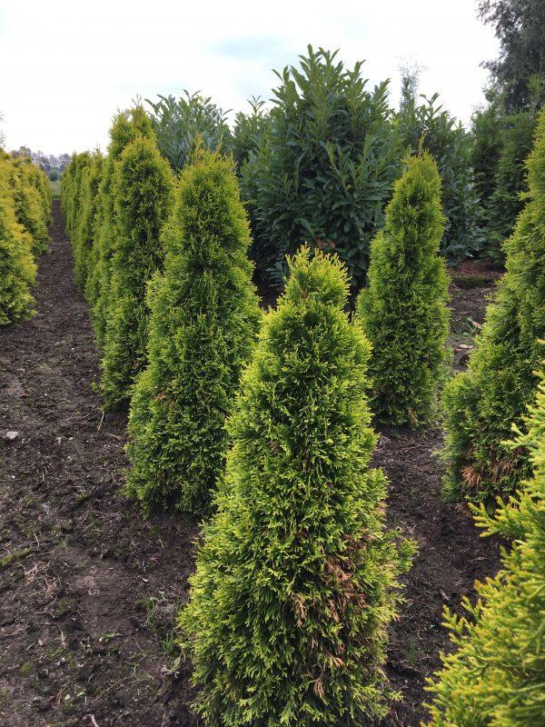 Thuja occidentalis Golden Smaragd | Kwekerij Bakker
