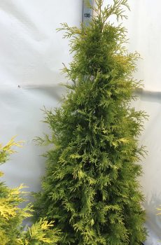 Thuja occidentalis Yellow Ribbon | Kwekerij Bakker