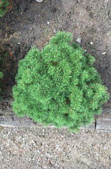 Pinus mugo Mops | Kwekerij Bakker