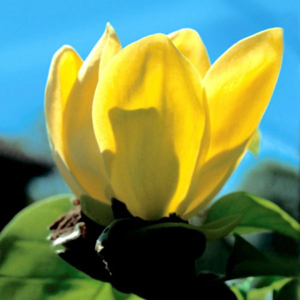 Magnolia brooklynensis Yellow Bird | Kwekerij Bakker