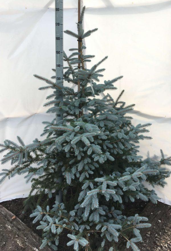 Picea pungens Erich Frahn | Kwekerij Bakker