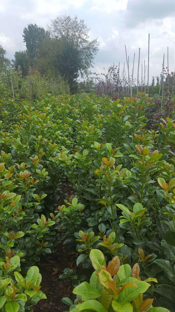Prunus lauroseracus Ani | Kwekerij Bakker