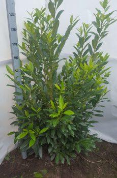 Prunus lauroseracus Herbergii | Kwekerij Bakker